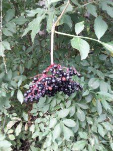 Sambuccus nigra Früchte klein